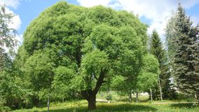 Salix zerbrechlich Stockfotos
