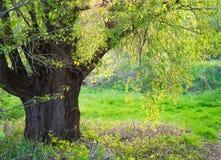 Salix zerbrechlich stockfoto