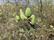 Salixcaprea och ett ungt bi royaltyfria foton