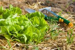 Sallad som växer i komposttäckning arkivfoton
