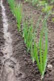 Salladslökar som i rad planteras Växande sund naturlig mat Royaltyfria Foton