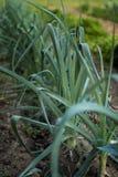Salladslökar som växer i fältet Arkivbild