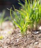 Salladslökar som växer i trädgården Arkivfoto