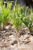 Salladslökar som växer i trädgården Royaltyfri Foto