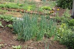 Salladslökar (Tatarka, fistular lökar) som växer i växthus i trädgården Fotografering för Bildbyråer