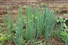 Salladslökar (Tatarka, fistular lökar) som växer i växthus i trädgården Arkivfoto