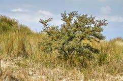 Sallowthorn buisson dans les dunes de Rockanje Image libre de droits