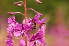 Sally-Blüte Stockfoto