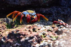 Sally Crab Stockfotografie