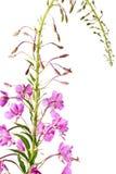 Sally de florescência (angustifolium do Epilobium); imagens de stock