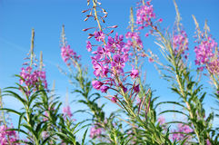 Sally du Fireweed Images stock