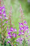 Sally du Fireweed .blooming Photographie stock