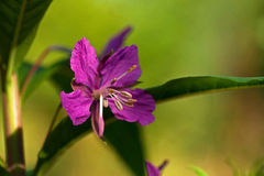 Sally-flor imagem de stock