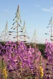 Sally-floración Imagen de archivo libre de regalías