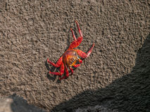 Sally Lighfoot Crab Royalty Free Stock Photography