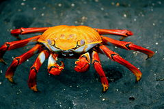 Sally Lightfoot Crab Royalty Free Stock Photos
