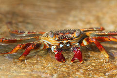 Sally Lightfoot Crab Stock Photo