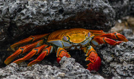 Sally Lightfoot Crab #1 Imagem de Stock Royalty Free