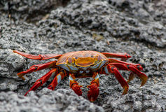 Sally Lightfoot Crab #2 Imagens de Stock Royalty Free