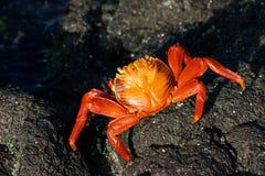 Sally lightfoot crab. On Galapagos rocks Royalty Free Stock Photos
