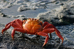 Sally Lightfoot Crab. On volcanic rock, Galapagos Islands Stock Images