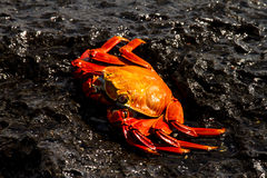 Sally Lightfoot Crab fotografia de stock royalty free