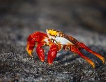 Sally Lightfoot Crab Lizenzfreie Stockbilder