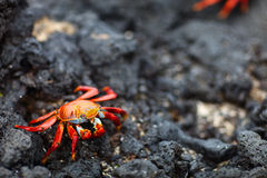 Sally Lightfoot Crab Lizenzfreie Stockfotografie