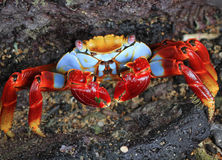 Sally Lightfoot Crab Stock Foto