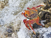 Sally Lightfoot Crab Photo stock