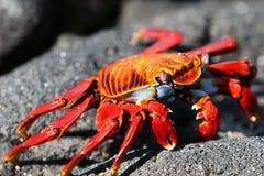 Sally Lightfoot Crab. Macro shot of a colorful Sally Lightfoot Crab Royalty Free Stock Photo