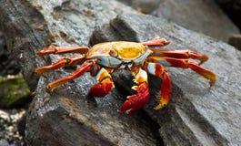 Sally Lightfoot Crab Fotografie Stock Libere da Diritti