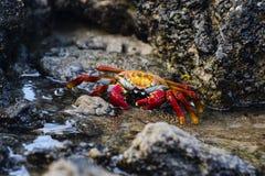 Sally Lightfoot Crab auf Lavafelsen Lizenzfreies Stockfoto
