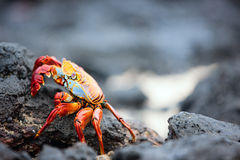 Sally lightfoot crab Stock Image