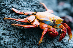 Sally lightfoot crab Royalty Free Stock Images