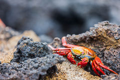 Sally lightfoot crab Stock Photos
