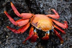 Sally lightfoot crab on a black lava rock. Galapagos Islands, Ecuador Stock Photography