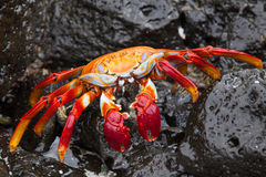 Sally lightfoot crab on a black lava rock Stock Photo