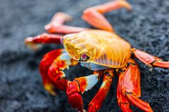 Sally lightfoot crab. On a black lava rock Stock Photo