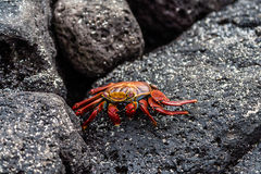 Sally lightfoot crab. A Sally Lightfoot crab on black lava stone on the Galapagos Islands, Ecuador Stock Images