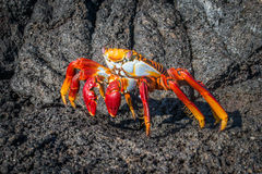 Sally Lightfoot crab on black volcanic rocks Stock Photo
