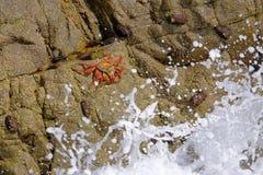 Sally Lightfoot Crab bonita, grapsus de Grapsus, em rochas, costa do Oceano Pacífico, Tocopilla, o Chile fotos de stock royalty free