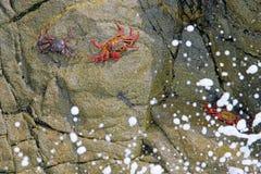 Sally Lightfoot Crab bonita, grapsus de Grapsus, em rochas, costa do Oceano Pacífico, Tocopilla, o Chile fotografia de stock royalty free