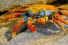Sally Lightfoot Crab bonita, grapsus de Grapsus, em rochas, costa do Oceano Pacífico, Tocopilla, o Chile imagem de stock