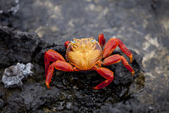 Sally Lightfoot Crab. A brightly colored Sally Lightfoot crab is highlighted against black rocks on the Galapagos Islands of Ecuador Stock Photography