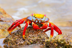 Sally lightfoot crab on Chinese Hat island, Galapagos National P Stock Photo