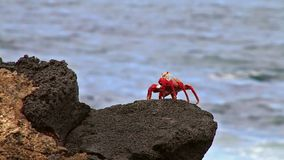 Sally lightfoot crab on Chinese Hat island, Galapagos National Park, Ecuador stock video