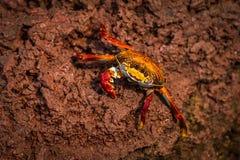 Sally Lightfoot crab climbing down brown rock Royalty Free Stock Photos