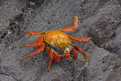 Sally Lightfoot Crab on a coastal Rock Royalty Free Stock Image