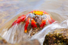 Sally lightfoot crab covered by wave on Chinese Hat island, Gala royalty free stock photography
